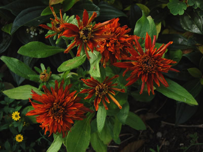 Rudbeckia hirta 'Cherokee Sunset' - medium image 3