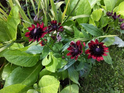 Rudbeckia hirta 'Cherry Brandy' - medium image 3