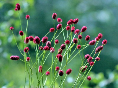 Sanguisorba officinalis - medium image 3