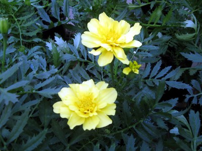 Tagetes 'Alumia Vanilla Cream' - medium image 3