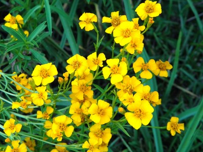 Tagetes lucida - medium image 3