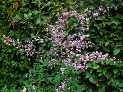 Thalictrum delavayi - medium image 3