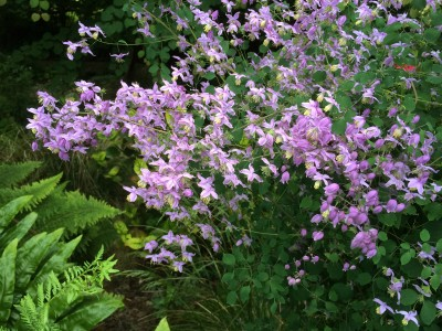 Thalictrum delavayi var. 'Decorum' - medium image 3