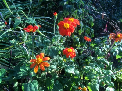 Tithonia rotundifolia 'Red Torch' - medium image 3