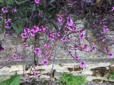 Verbena officinalis 'Bampton' - medium image 3