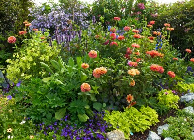 Zinnia elegans 'Benary's Giant Salmon Rose' AGM - medium image 3