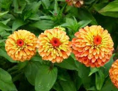 Zinnia elegans 'Queen Lime Orange' - medium image 3