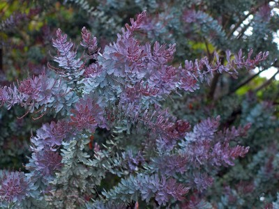 Acacia baileyana 'Purpurea' - medium image 4