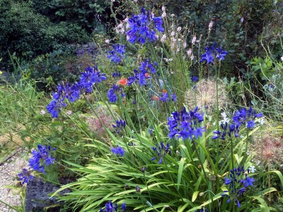 Agapanthus short dark blue Headbourne hybrids - medium image 4