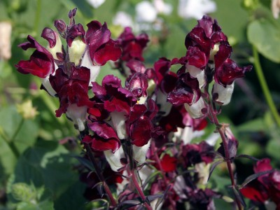 Antirrhinum 'Night & Day' - medium image 4