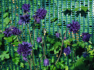 Aquilegia 'Blue Barlow' - medium image 4