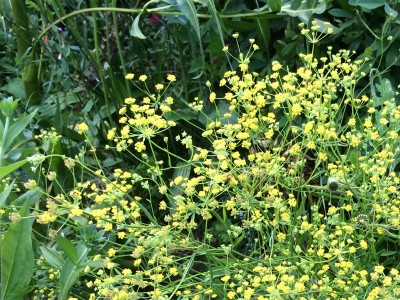 Bupleurum falcatum tall form - medium image 4
