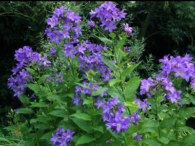 Campanula lactiflora deep blue - medium image 4
