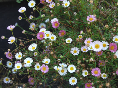 Erigeron karvinskianus - medium image 4