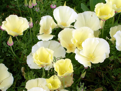 Eschscholzia californica 'Alba' - medium image 4