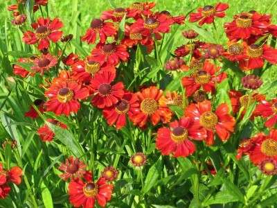 Helenium autumnale 'Helena Red Shades' - medium image 4