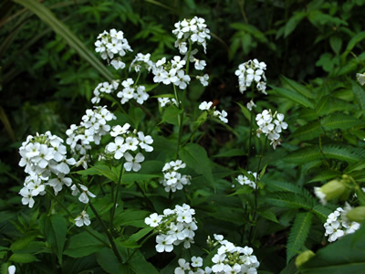 Hesperis matronalis 'Alba' - medium image 4