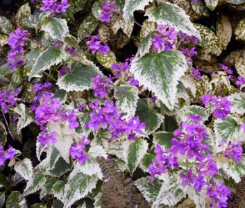 Lunaria annua 'Variegata' purple flowered - medium image 4