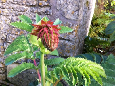 Melianthus major - medium image 4