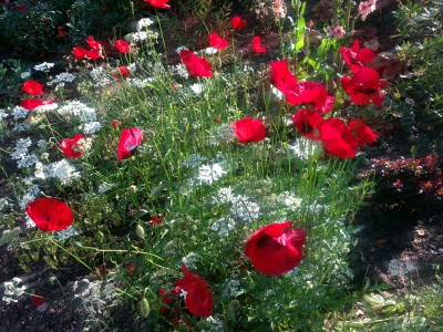Papaver 'Paradise' - medium image 4
