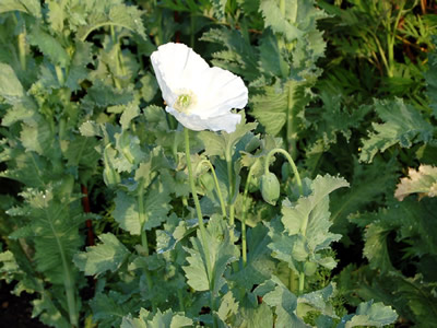 Papaver somniferum single white - medium image 4