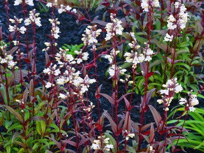Penstemon digitalis 'Huskers Red' - medium image 4