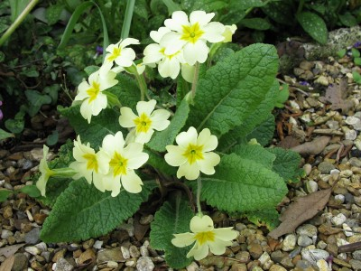 Primula vulgaris - medium image 4