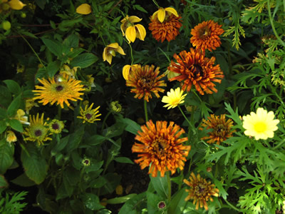 Rudbeckia hirta 'Cherokee Sunset' - medium image 4