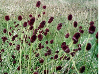 Sanguisorba officinalis - medium image 4