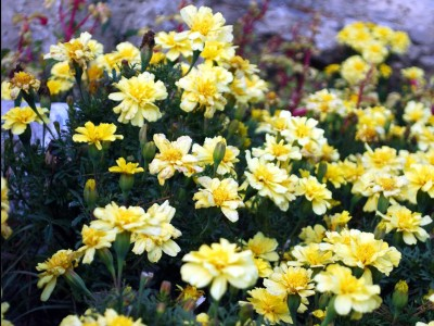 Tagetes 'Alumia Vanilla Cream' - medium image 4