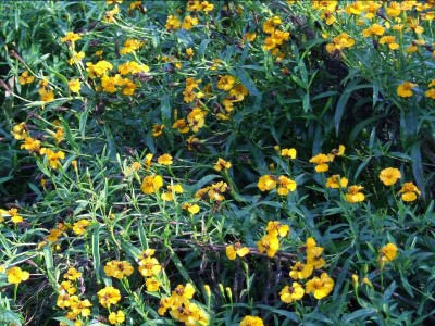 Tagetes lucida - medium image 4