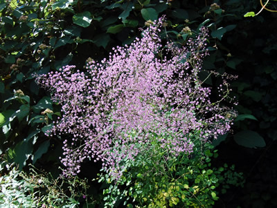Thalictrum delavayi - medium image 4
