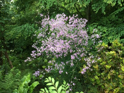 Thalictrum delavayi var. 'Decorum' - medium image 4