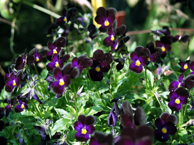 Viola 'Bowle's Black' - medium image 4