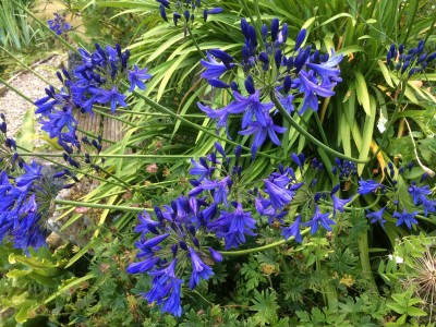 Agapanthus short dark blue Headbourne hybrids - medium image 5