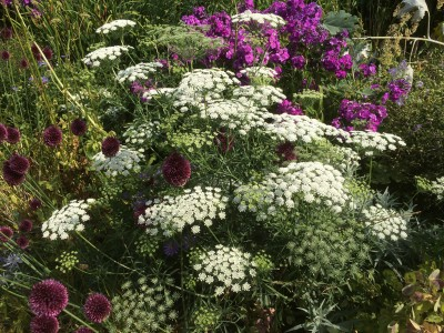Ammi majus - medium image 5