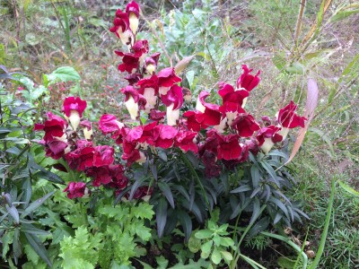 Antirrhinum 'Night and Day' - medium image 5