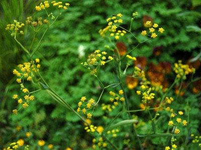 Bupleurum falcatum tall form - medium image 5