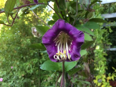 Cobaea scandens - medium image 5