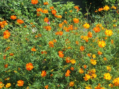 Cosmos sulphureus 'Bright Lights' - medium image 5