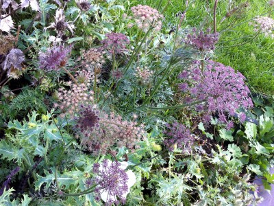 Daucus carota 'Black Knight' - medium image 5