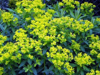 Euphorbia oblongata - medium image 5
