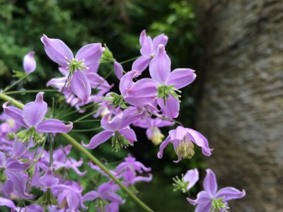 Thalictrum delavayi var. 'Decorum' - medium image 5
