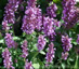 Agastache 'Rose Mint' - small image 1