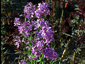 Hesperis matronalis - small image 1