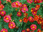 Tagetes 'Cinnabar' from Gt Dixter - small image 1