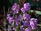 Hesperis matronalis - small image 2