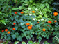 Tithonia rotundifolia 'Red Torch' - small image 2