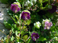 Cobaea scandens - small image 3