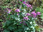 Lunaria annua 'Munstead Purple' - small image 3
